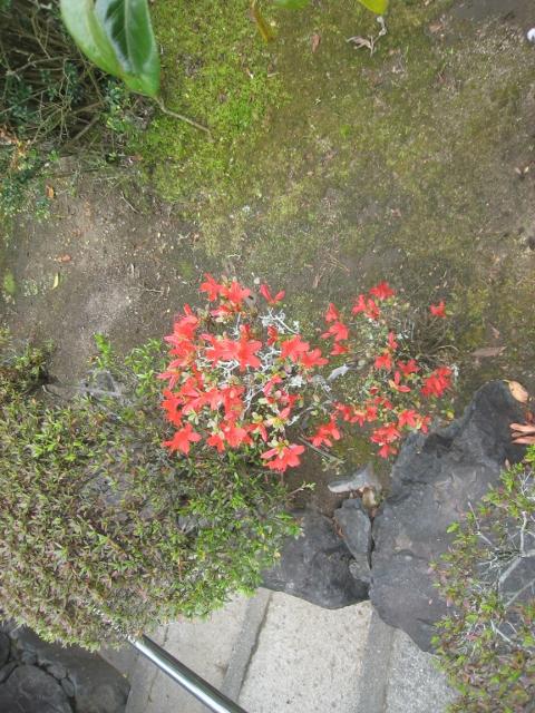 庭の花4 005 (480x640)