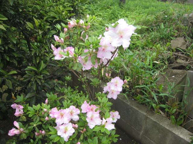 庭の花4 002 (640x480)