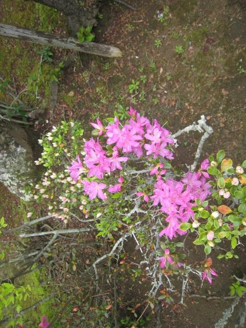 庭の花4 009 (480x640)