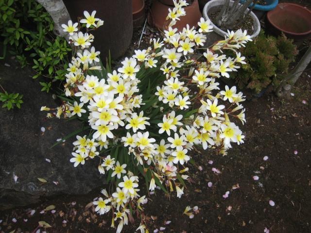 庭の花4 001 (640x480)